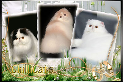 ChilliCats Cattery